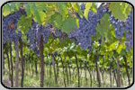 Royalty Free World Vineyards Images